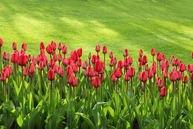 spring picture of red tulips